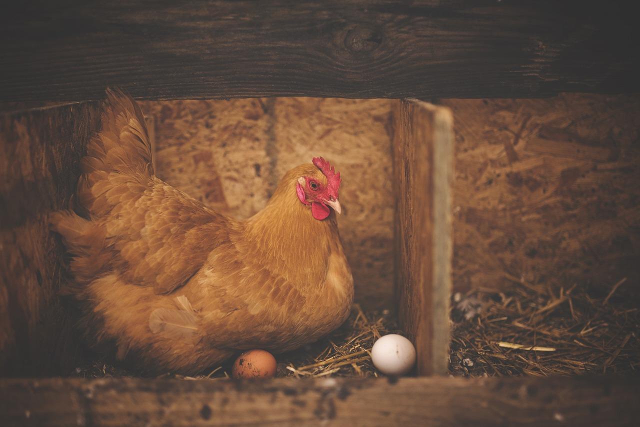 Brutzeit Hühner