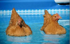 Können Hühner schwimmen