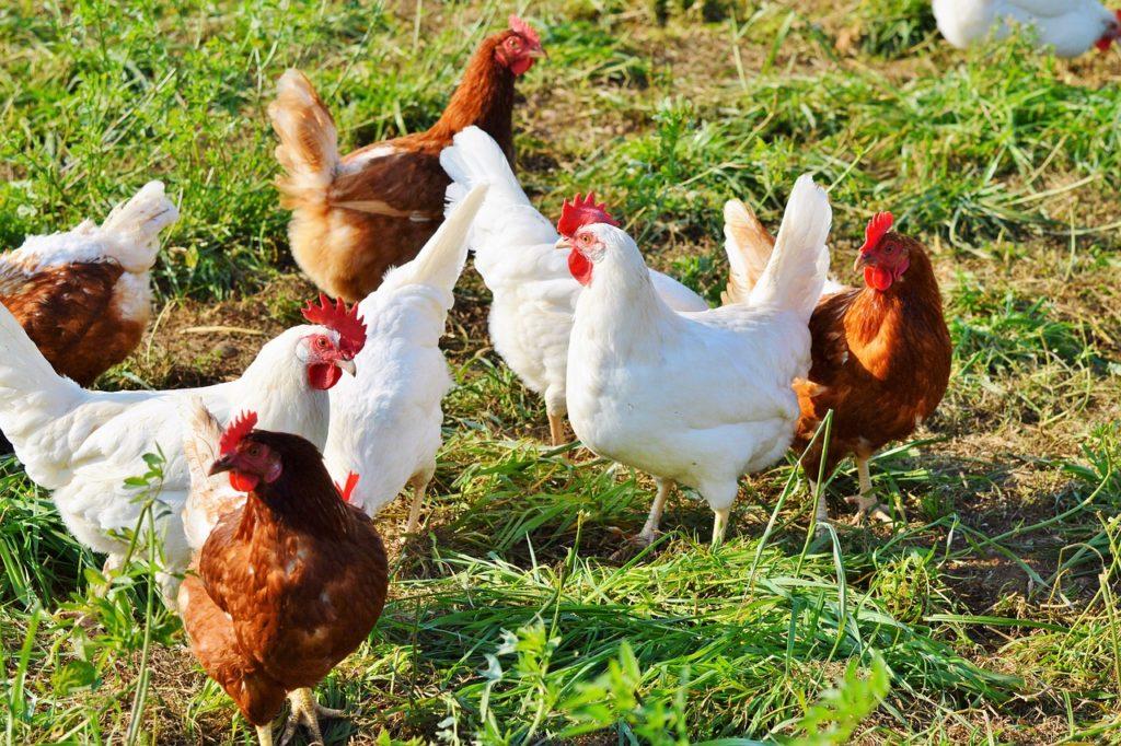 Hühner Flügel stutzen