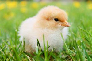 Bruttemperatur Hühner