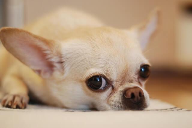 Zahnwechsel bei Hundewelpen